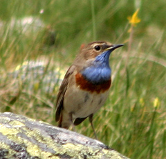 Bluethroat%202.jpg