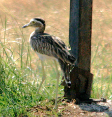 Double-striped%20Thick-knee%20.jpg