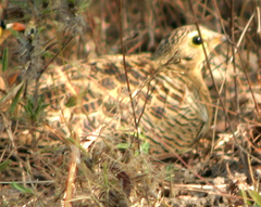 Sandgrouse%20%28Four-banded%20Sandgrouse%29.jpg