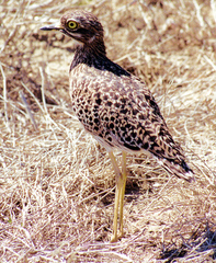 Spotted%20Thick-knee%20.jpg