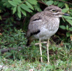 Thick-knee%20%28Water%20Thick-knee%20.jpg