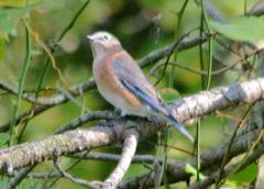 Bluebird%20%28Eastern%20Bluebird%201%29.jpg