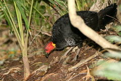 Brush-turkey%20%28Australian%20Brush-turkey%201%29.jpg