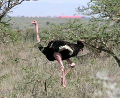 Ostrich%20%28Common%20Ostrich%201%29.jpg