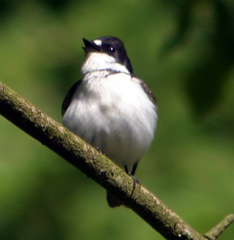 Flycatcher%20%28Pied%20Flycatcher%202%29.jpg