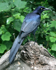Grackle%20%28Great-tailed%20Grackle%2011%29.jpg