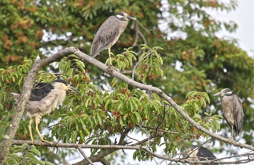 Black-crowned%20Night%20Herons%20-%20roost.jpg