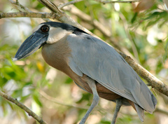 Boat-billed%20Heron%202.jpg