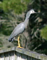 White-faced%20Heron%203.jpg