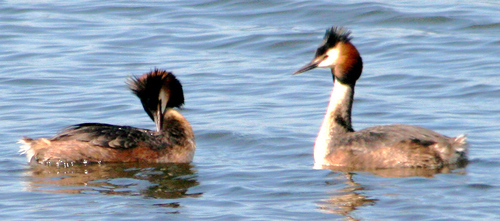 Grebe%20%28Great%20Crested%20Grebe%209%29.jpg