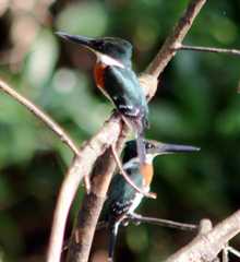 Kingfisher%20%28Amazon%20Kingfisher%203%29.jpg