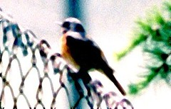 Redstart%20%28Common%20Redstart%201%29.jpg