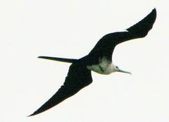 Frigatebird%20%28Magnificent%20Frigatebird%205%29.jpg