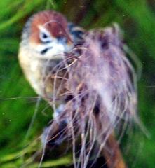 Grassbird%201.jpg