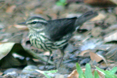 Waterthrush%20%28Northern%20Waterthrush%202%29.jpg