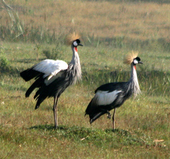 Crane%20%28Grey-crowned%20Crane%204%29.jpg