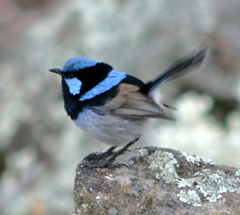 Fairy-wren%20%28Superb%20Fairy-wren%209%29.jpg