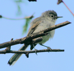 Gnatcatcher%20%28Black-capped%20Gnatcatcher%201%29.jpg