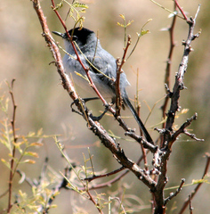 Gnatcatcher%20%28Black-tailed%20Gnatcatcher%204%29.jpg