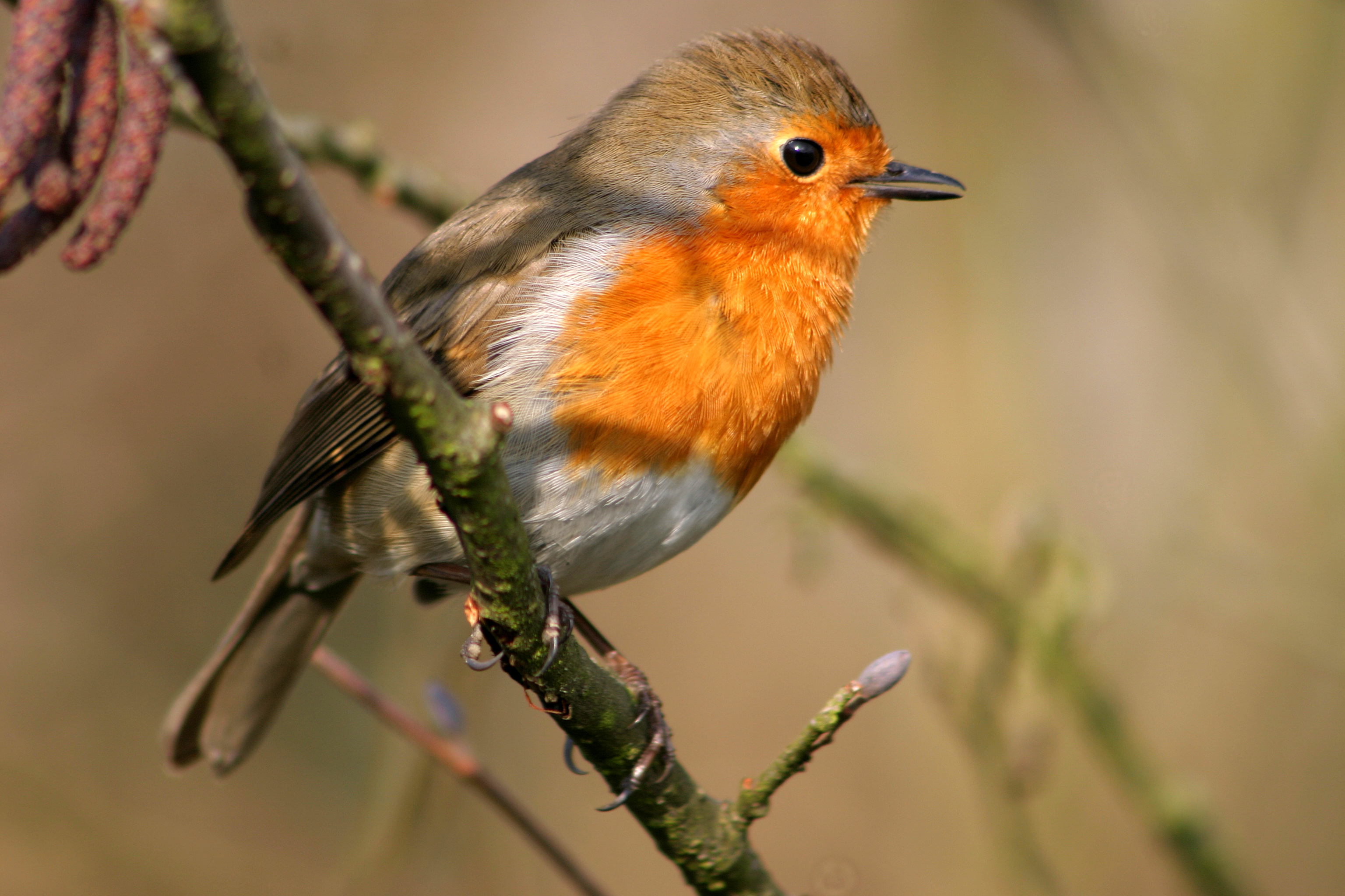 pictures of robin birds